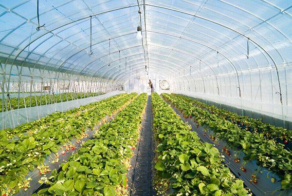 蔬菜大棚采光瓦案例